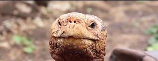 Diego the tortoise credited with saving his species