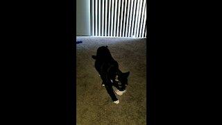 Luna the cat plays fetch