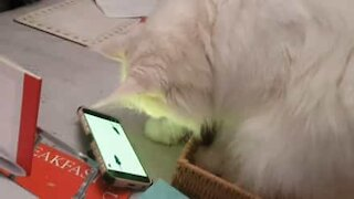 Cat chases mouse ... in a smart phone!