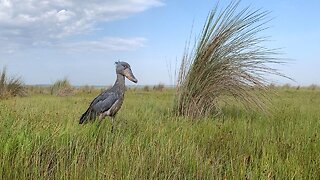 Rare Sighting Of Peculiar Shoebill Stork That Looks Like Hippogriff From Harry Potter Captured On Camera