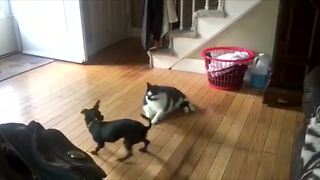 Large lazy cat can't handle hyperactive puppy