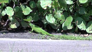 City of Sanibel reinstates The Green Iguana Removal Program