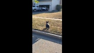 French Bulldog waits outside every day to play with neighbor dog