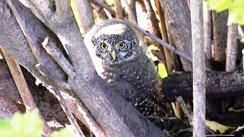 Pygmy owl in the garden