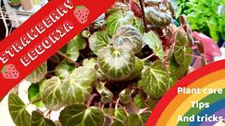 STRAWBERRY BEGONIA PLANT CARE 101   TIPS AND TRICKS