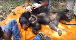 Bear cub rescued from a barbed wire in India