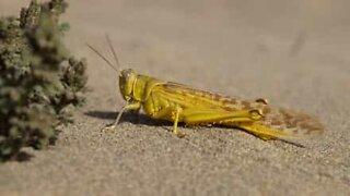 Hungry grasshopper has voracious appetite!