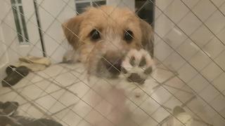 Jack Russell Puppy Knocking Door