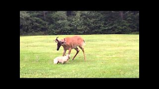 French Bulldog plays with Buck