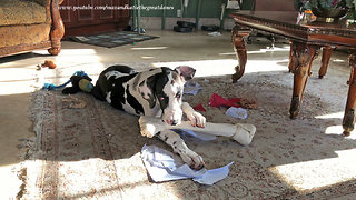 Playful Great Dane Puppy Loves Big Chew Bone