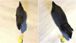 Ferret plays with toy ball at incredible speeds