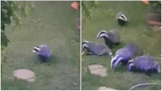 Badgers invade garden every day!
