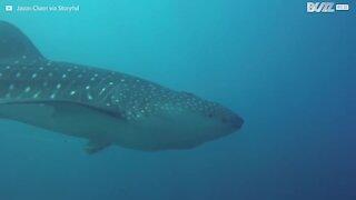 Sjelden hvalhai oppdaget i Mexico