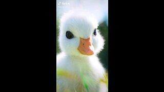 Lovely little duck