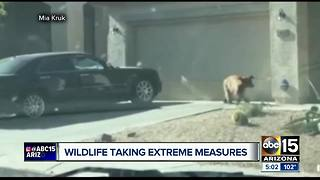 Game and Fish defending decision to euthanize bear spotted in Anthem