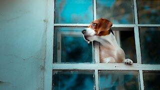 Dog x Window