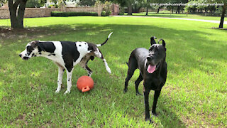 Funny Great Dane Interrupts Playtime To Water The Jolly Ball