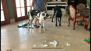 Great Dane puppy makes naughty mess while alone
