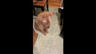 Dog excited to get brisket