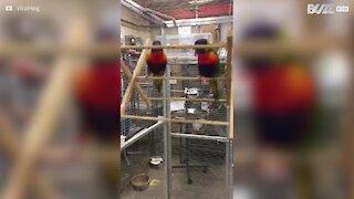 Una coppia di pappagalli acrobati
