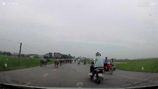 Búfalos invadem estrada e atacam motociclista 1