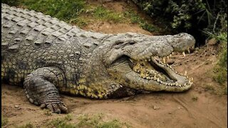 man feeding incredible crocodile