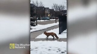 Red fox spotted crossing city street