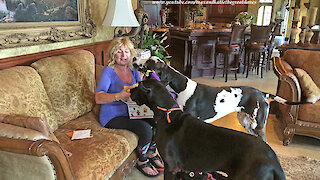 Excited Great Danes Have Fun Opening Halloween Gift Boxes