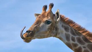 Giraffe's tongue resembles a helicopter blade!