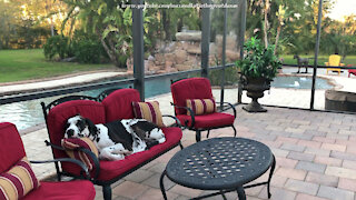 Sleepy Great Dane Enjoys A Sunset Nap On The Lanai Loveseat
