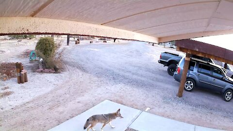 Morning coyote visit