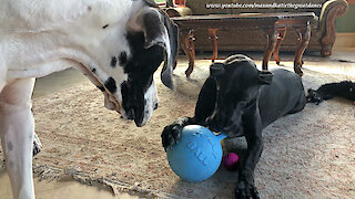 Funny Great Danes Have Fun Chewing On Their Balls