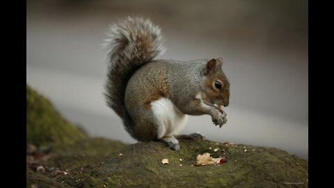 ADORABLE YOUNG SQUIRREL TRYING SO HARD TO GET TO THE BIRD SEED!