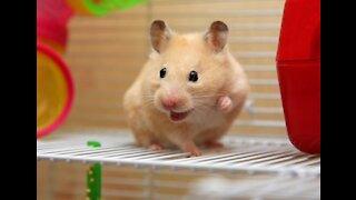 Hamster Mouse Dinner