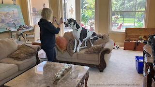 Great Dane gets so excited to put on his collar
