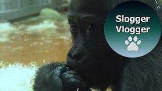 Cute Baby Gorilla Indigo