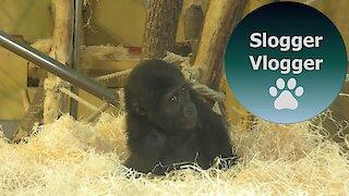 Baby Gorilla Indigo Has Fun With The Wood Wool