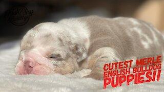 Cutest Merle English Bulldog Puppies!!!