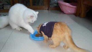 De lærte aldri denne katten å dele mat!