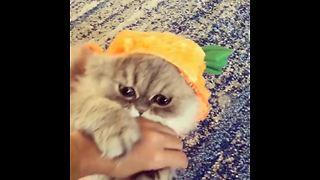 Persian Cat Models A Pumpkin Halloween Costume