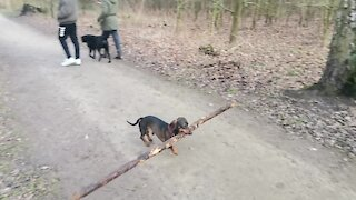 Ambitious dog impressively carries gigantic stick