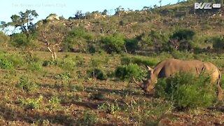 Lion attacks rhino calf