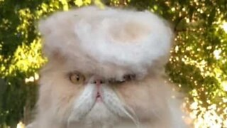 Cat tries on a toupee