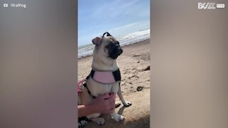 Dog's hilarious ear-flap-in-strong-wind moment