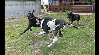 Great Danes have play date with horses, donkey & German Shepherd