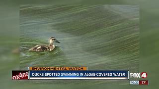 Green algae moves into North Fort Myers