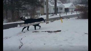 Denne labradoren kaster ikke vekk tiden på småpinner