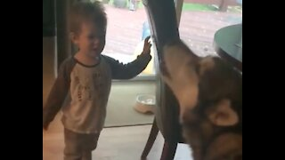 Howling competition between toddler and his Malamute buddy