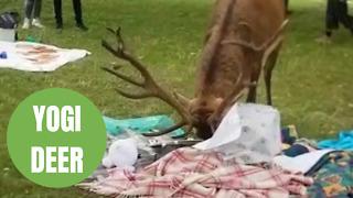 Hungry deer raids a charity picnic