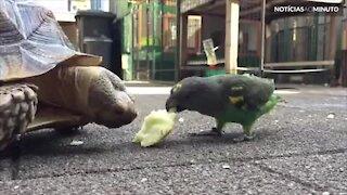 Periquito rouba comida de tartaruga e é 'perseguido'